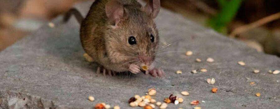Raton haciendo daño